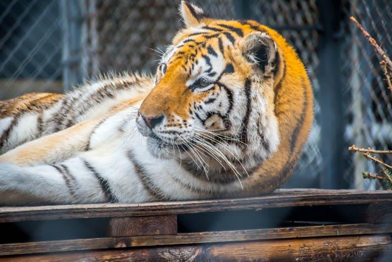 Тигр в Джексонвилл, Флорида черных поперечных нашивок сибирский стоковые фото