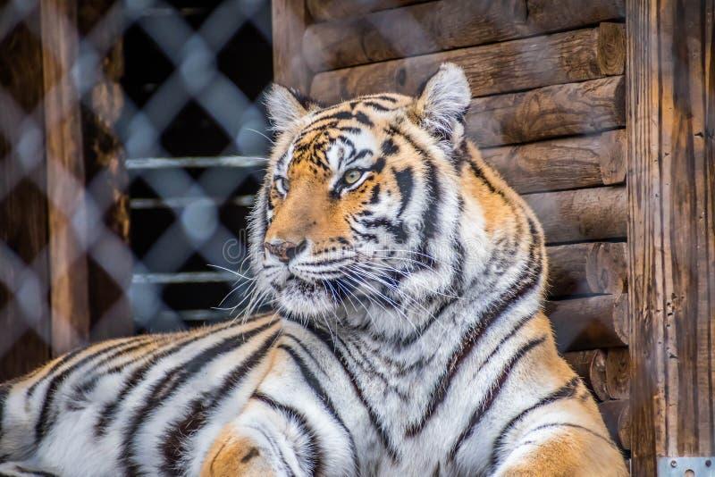Тигр в Джексонвилл, Флорида черных поперечных нашивок сибирский стоковое фото rf