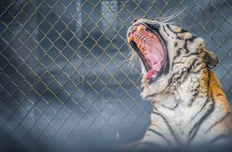 Тигр в Джексонвилл, Флорида черных поперечных нашивок сибирский стоковая фотография rf