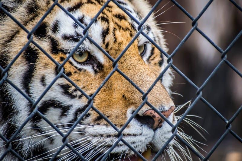 Тигр в Джексонвилл, Флорида черных поперечных нашивок сибирский стоковое изображение rf