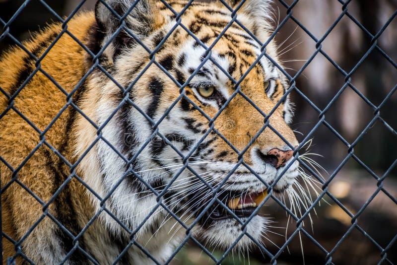 Тигр в Джексонвилл, Флорида черных поперечных нашивок сибирский стоковые фотографии rf