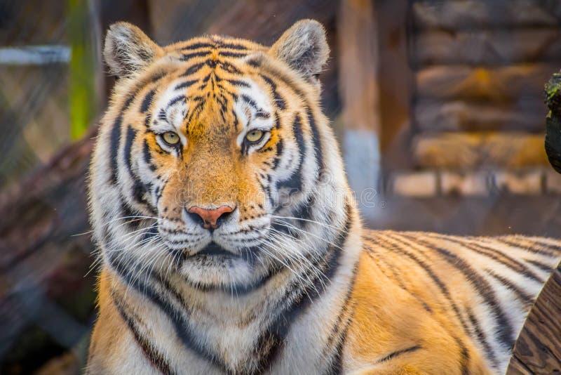 Тигр в Джексонвилл, Флорида черных поперечных нашивок сибирский стоковое изображение