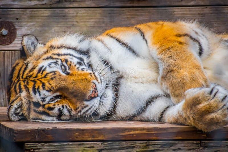 Тигр в Джексонвилл, Флорида черных поперечных нашивок сибирский стоковые изображения