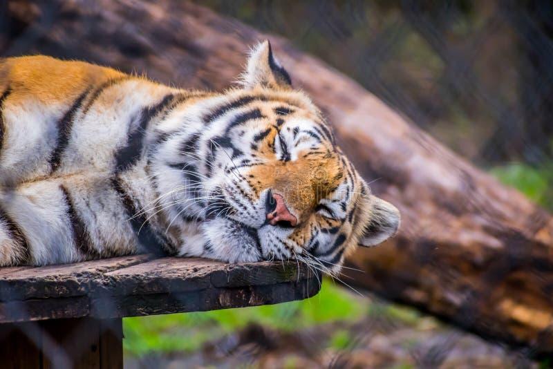 Тигр в Джексонвилл, Флорида черных поперечных нашивок сибирский стоковые изображения rf