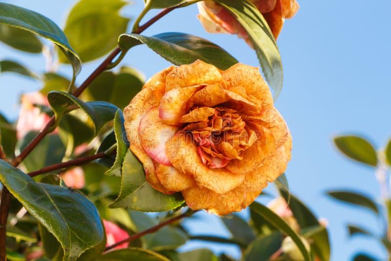Тухлый цветок камелии стоковое изображение rf