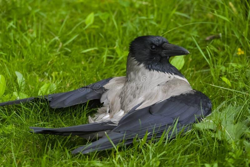 трава вороны с капюшоном стоковая фотография