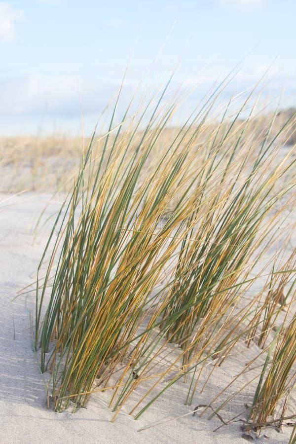Трава на песочной дюне, Балтийском море стоковые изображения rf