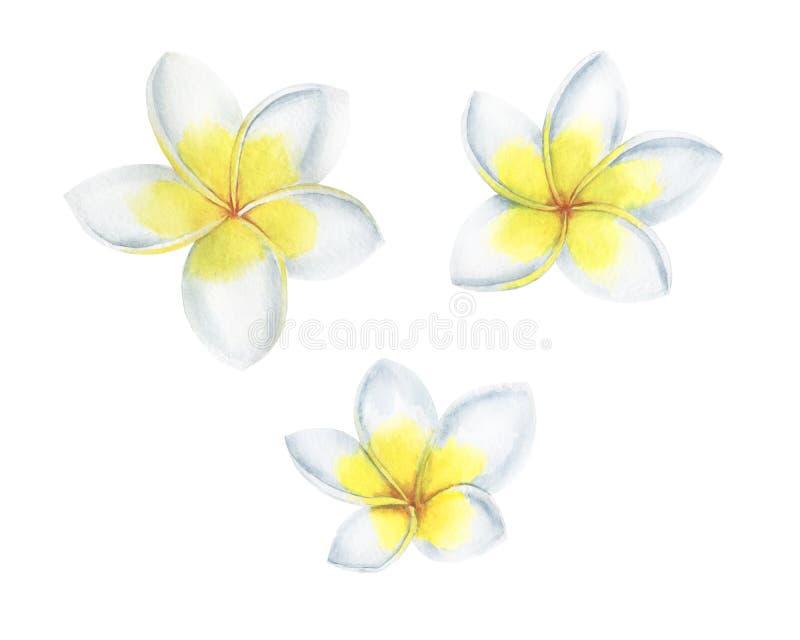 Тропическая акварель цветков установила иллюстрацию Plumeria ботаническую стоковое изображение rf