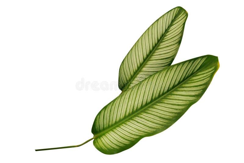 Тропическая зеленая нашивка Calathea Pin выходит орнаментальные заводы изолированный на белую предпосылку, путь клиппирования стоковые фотографии rf