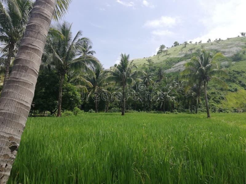 Тропические зеленые холмы, поля риса и пальмы стоковое изображение rf
