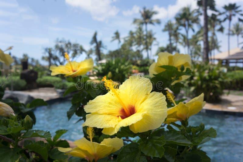Тропический желтый гибискус Гаваи под полным Солнцем стоковые фотографии rf