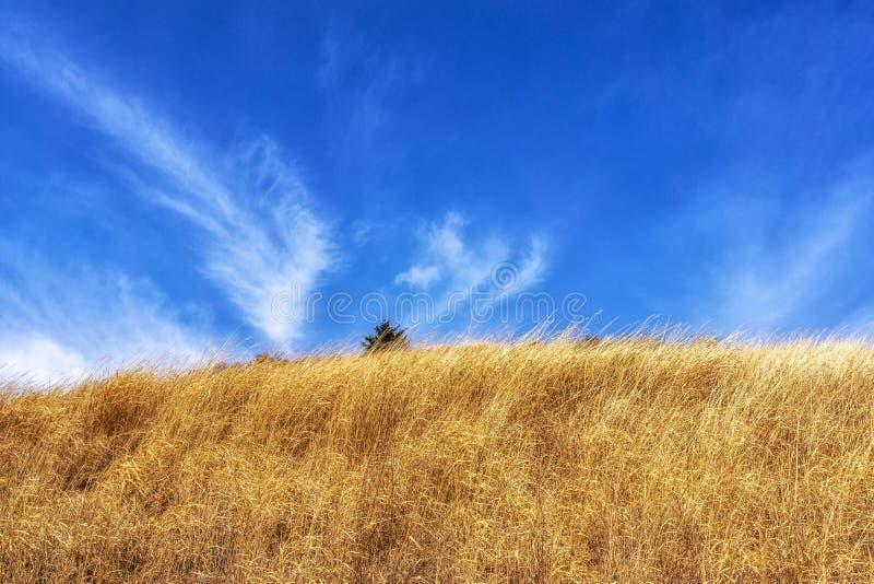 Тростники травы Ganwoljae высокорослые стоковое фото