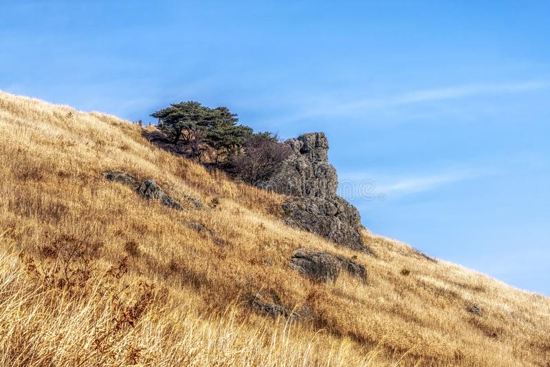 Тростники травы Ganwoljae высокорослые стоковые изображения