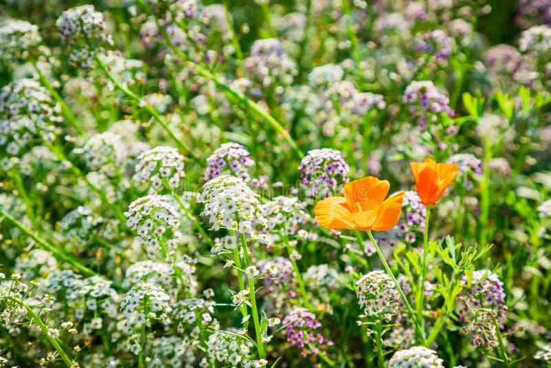 Точные белые цветки Alissum и набор маков стоковое фото