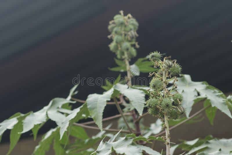 Фасоль рицинуса стоковая фотография rf