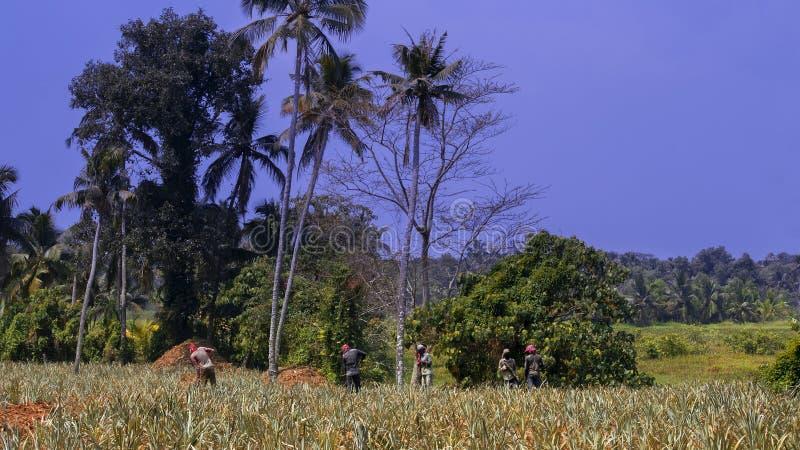 Ферма ананаса будучи поддерживанным работниками стоковое изображение
