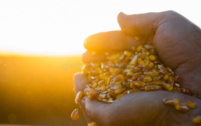 Фермер держа зрелые зерна мозоли в его руках на заходе солнца стоковые изображения