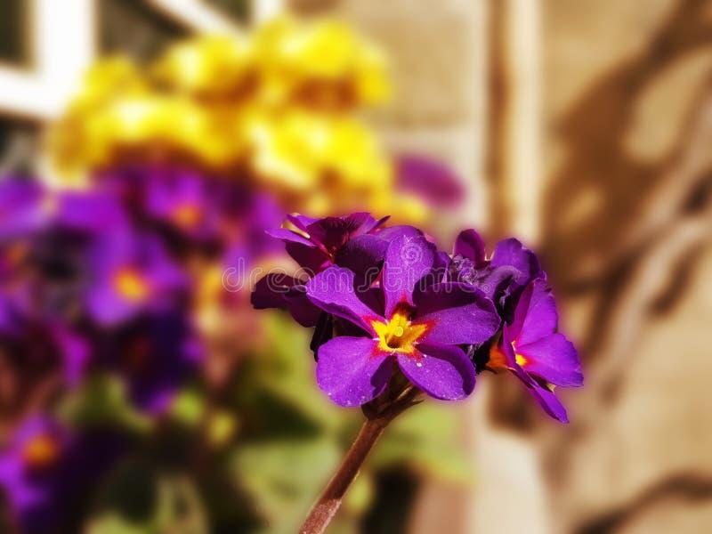 Фиолетовый первоцвет цветка бархата на запачканной предпосылке стоковое изображение