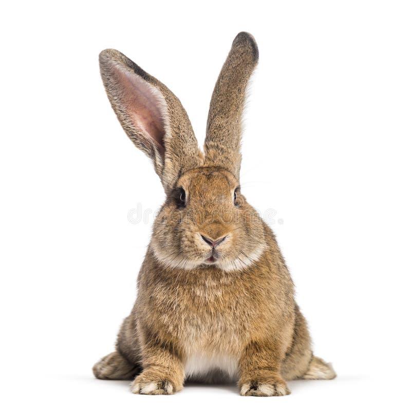 Фламандский гигантский кролик, 6 месяцев старых стоковые фотографии rf