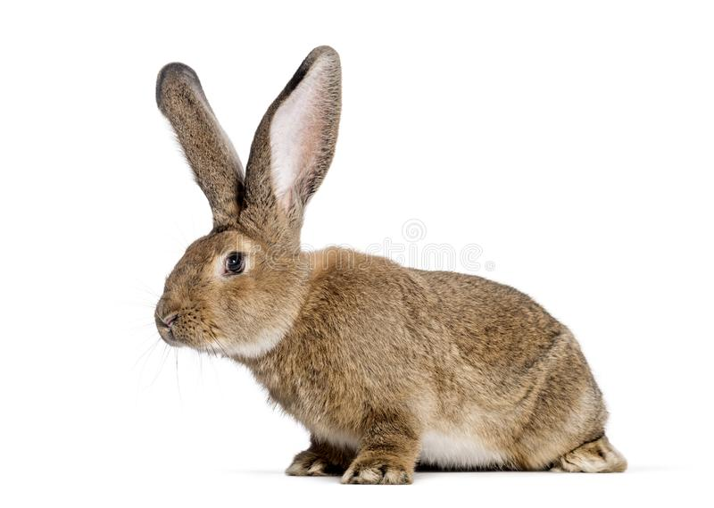 Фламандский гигантский кролик, 6 месяцев старых стоковое фото