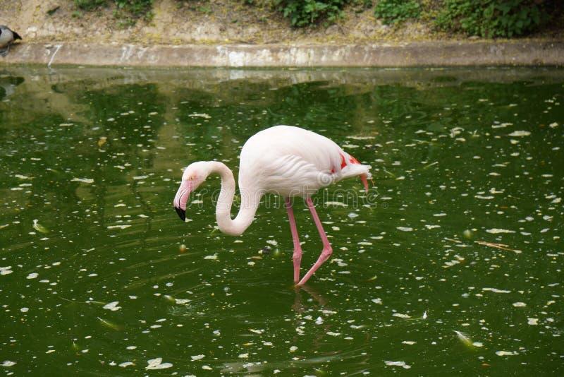 Фламинго в пруде идя до конца стоковое изображение