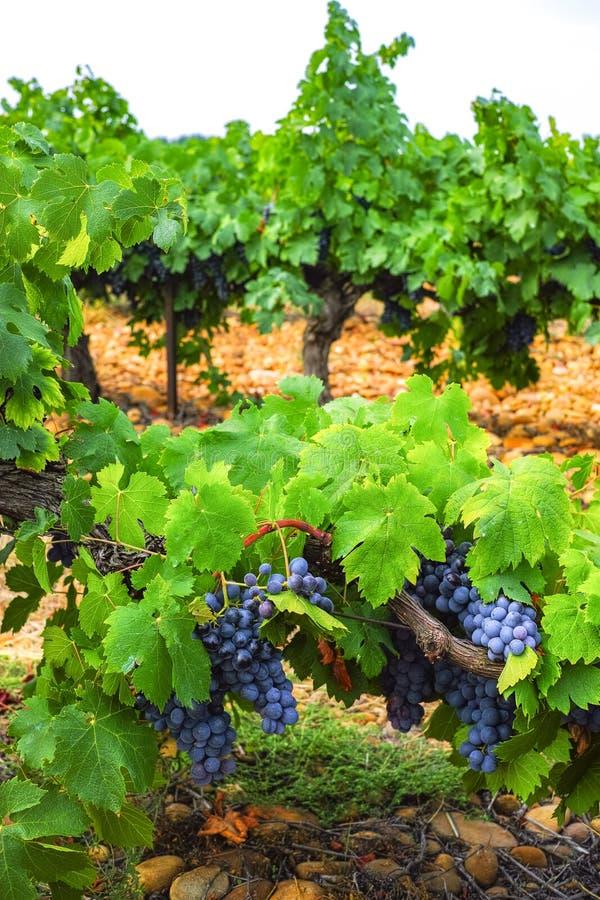 Французский красный цвет и завод виноградин розового вина, первый новый сбор виноградины вина в домен или замок AOP Франции, Cost стоковые фотографии rf