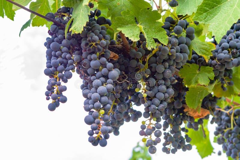 Французский красный цвет и завод виноградин розового вина, первый новый сбор виноградины вина в домен или замок AOP Франции, Cost стоковая фотография