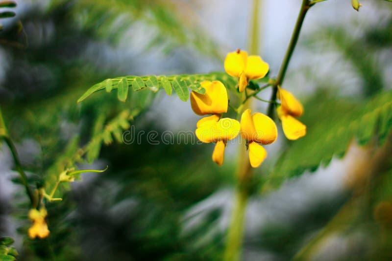 Фокусировать на цветках Sesbania с запачканной предпосылкой стоковые изображения