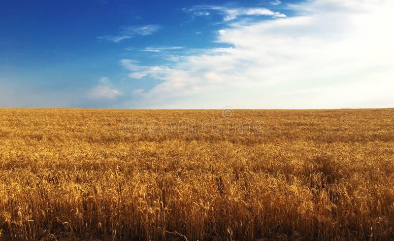 Фон зрея ушей желтого пшеничного поля на предпосылке неба захода солнца пасмурной оранжевой Скопируйте космос установки стоковые изображения