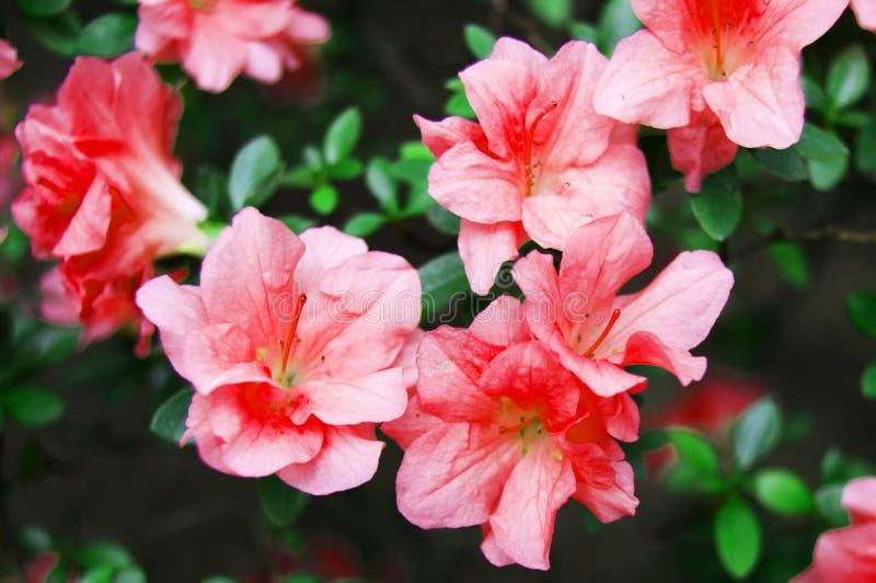 Фото цветков Розовые цветки Фото зацветая цветков Фото завода Горизонтальное фото цветков ботанический сад Backgrou стоковые фото
