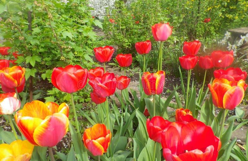 Цвести весной красочных тюльпанов в саде Красивые красные розы цветков шикарные розы в солнце в саде стоковое фото rf
