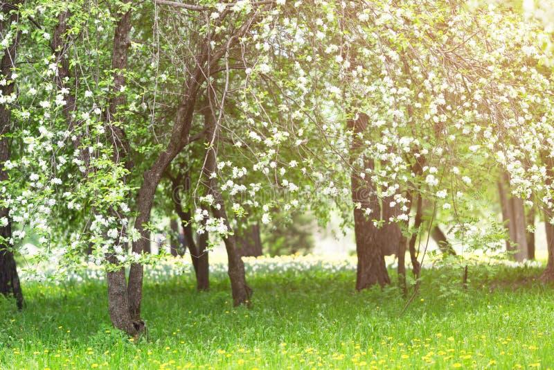 Цвести ветви яблони в лучах солнца весны стоковые изображения rf