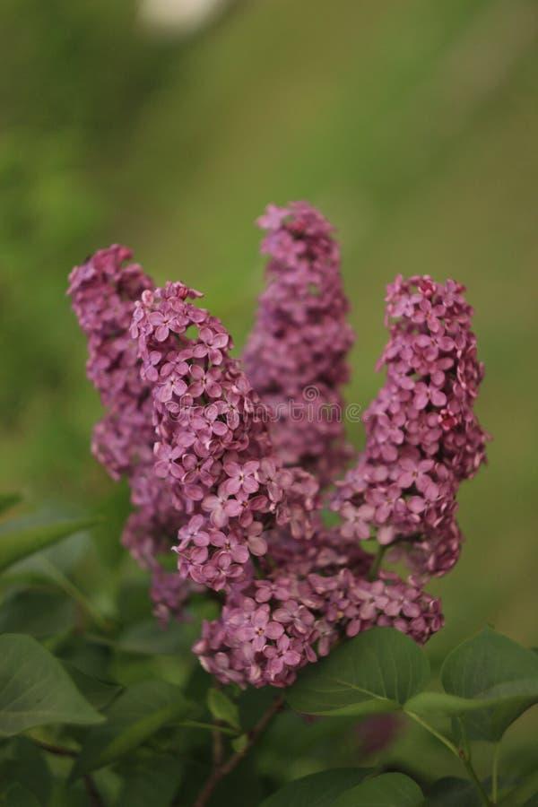 Цвести пурпурные сирени весной Селективный мягкий фокус, малая глубина поля Неясное изображение, предпосылка весны стоковая фотография rf