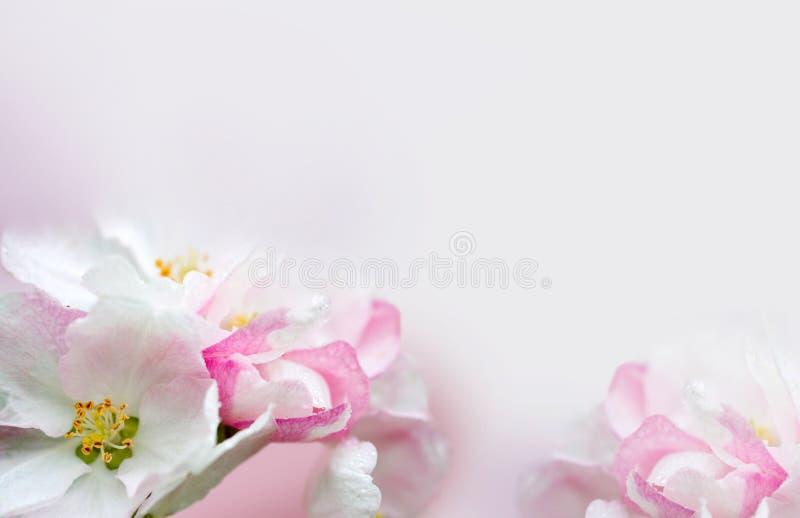 Цвести яблони Предпосылка весны зацветая цветков Белые и розовые цветки Красивая сцена природы с a стоковые изображения