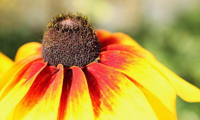 Цветение hirta rudbeckia подробно симпатично стоковое изображение rf