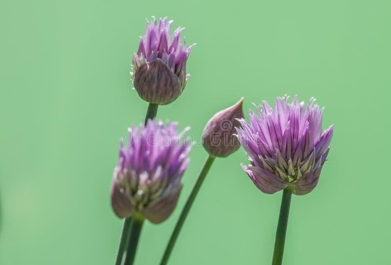 Цветения Chive с зеленой предпосылкой стоковая фотография