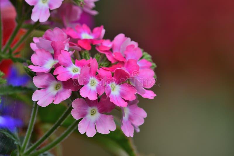 Цветки вербены стоковое изображение rf