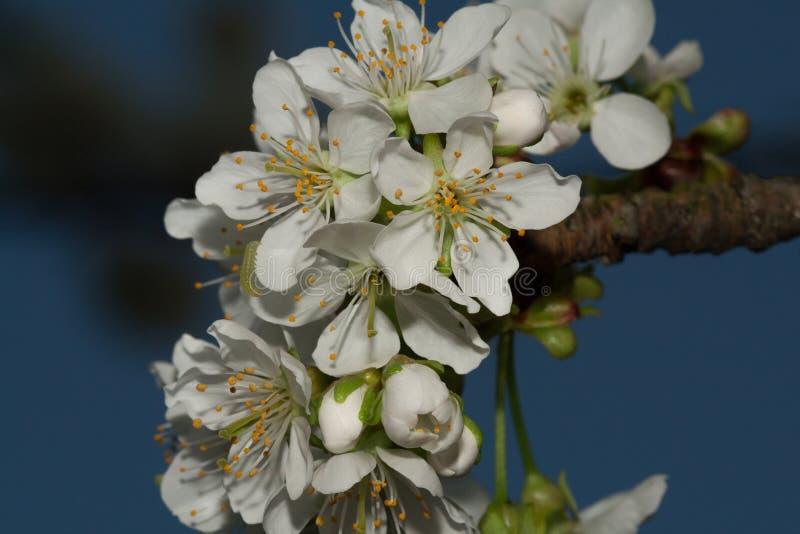 Цветки вишни на предпосылке голубого неба с лепестком стоковое фото rf