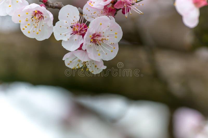 Цветки миндального дерева в пасмурном дне стоковое изображение