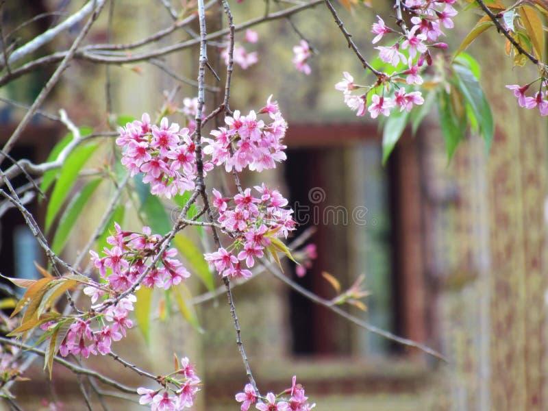 Цветки пинка вишневого цвета на ветви дерева с запачканной предпосылкой, выборочным фокусом стоковое изображение rf