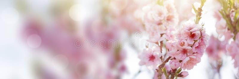 Цветки дерева весны в цветении стоковая фотография rf