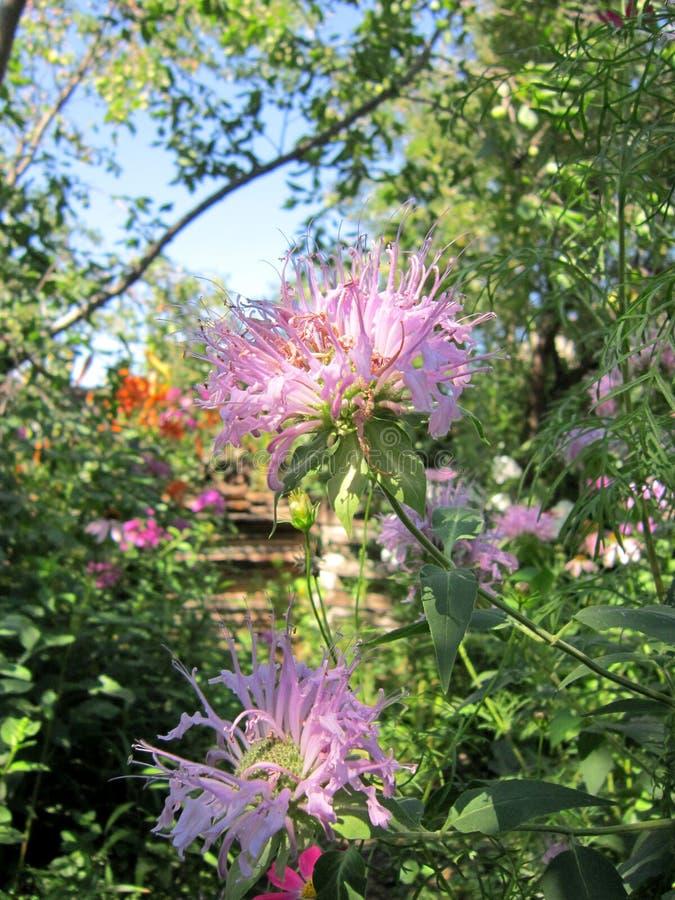 Цветки дикого бергамота Monarda в саде лета стоковые изображения rf