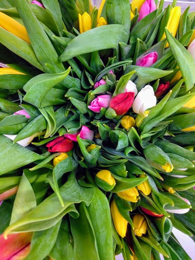 Цветки тюльпанов зацветая стоковые изображения