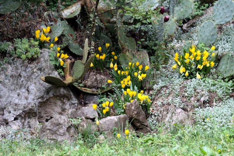 Цветковые растения крокусов или крокуса с яркими желтыми цветками засаженными между утесами и камнями окруженными с кактусами и д стоковые фото