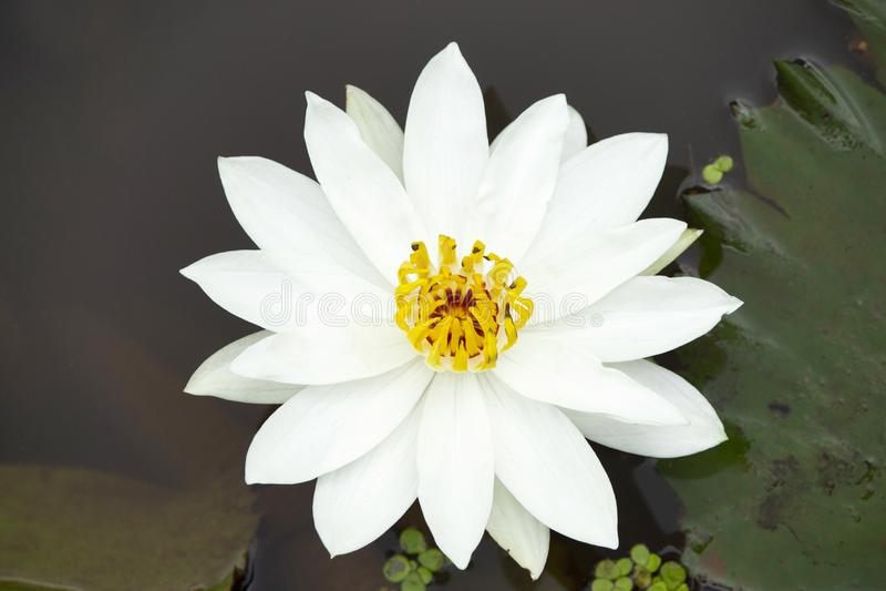 Цветок белого лотоса рода Nelumbo, махарастры, Индии стоковая фотография