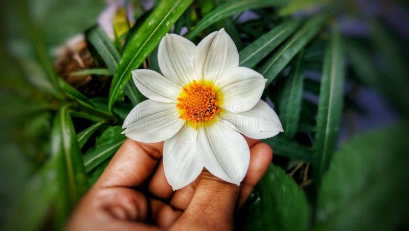 Цветок георгина белый в саде стоковые фотографии rf