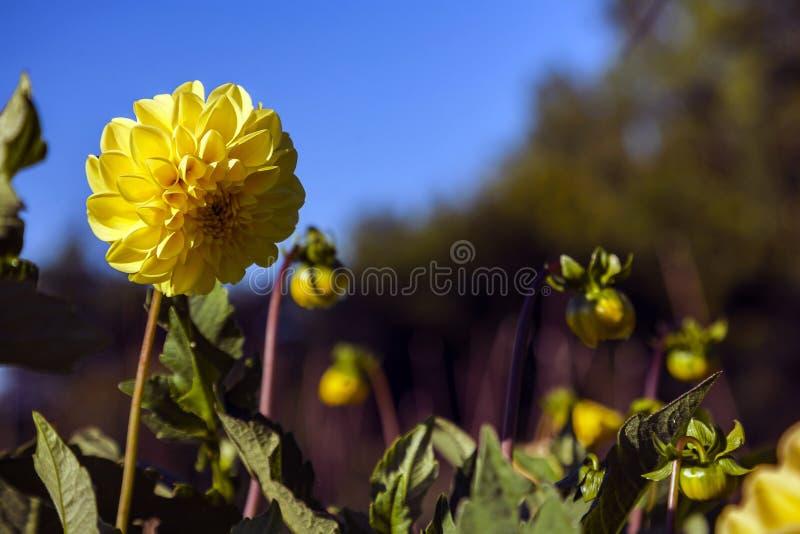 Цветок георгина, который выросли в диком поле стоковые фотографии rf