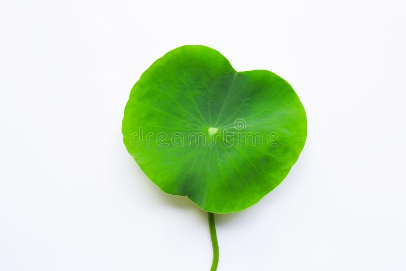 Цветок лотоса выходит на белое стоковые изображения