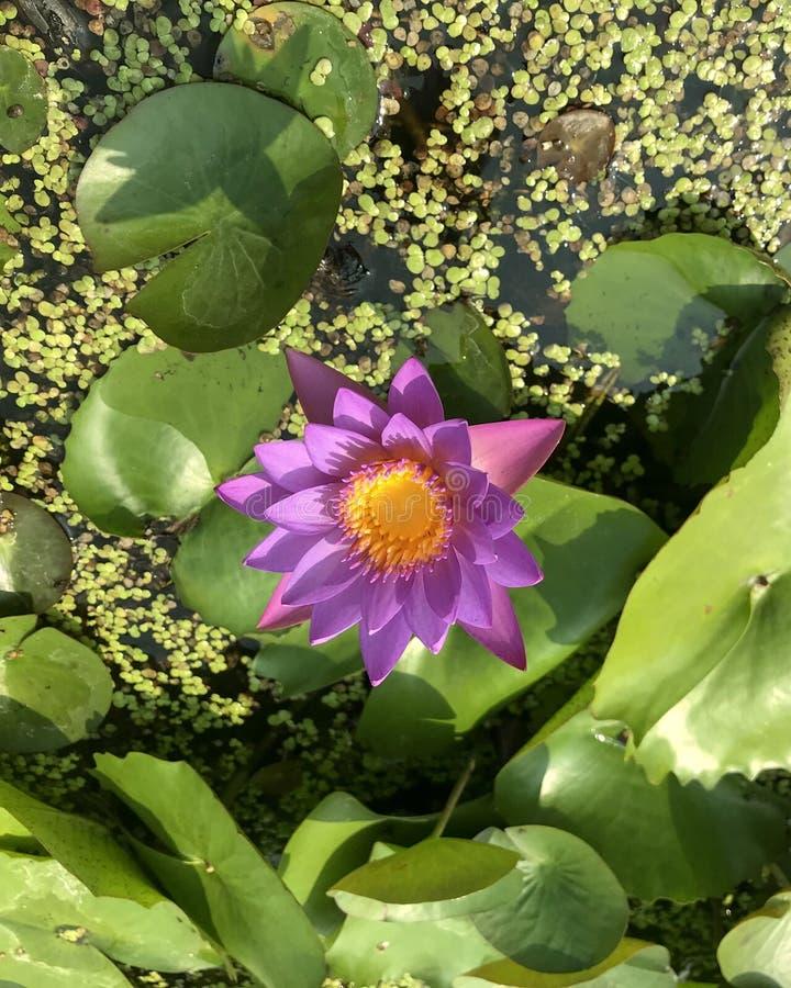 Цветок лотоса от Вьетнама стоковые фото
