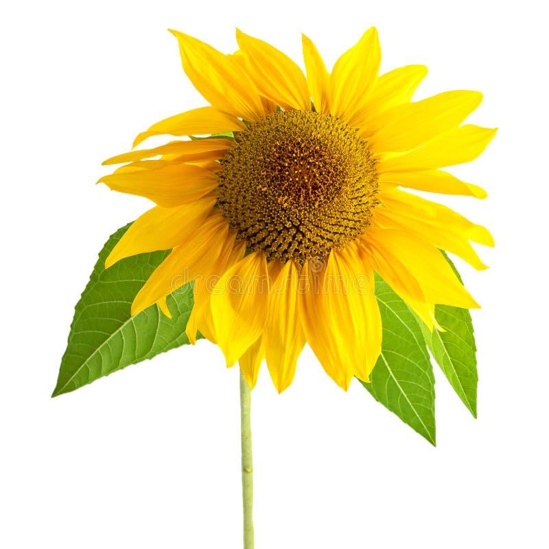 Цветок солнцецвета желтый с лист изолированными на белой предпосылке стоковые изображения rf